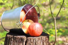 Harvest of ripe juicy red apples in a bucket on a stump on a nat stock images