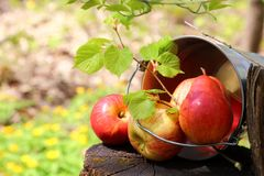 Harvest of ripe juicy red apples and pears in a bucket on a stump in the garden on a natural sunny yellow-green background. stock photo