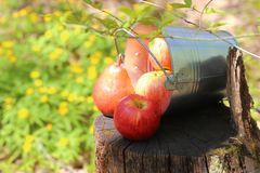Harvest of ripe juicy red apples and pears in a bucket on a stump in the garden on a natural sunny yellow-green background. royalty free stock photos