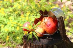 Harvest of ripe juicy red apples and pears in a bucket on a stum royalty free stock image
