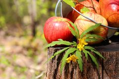 Harvest of ripe juicy red apples and pears in a bucket on a stum Stock Image