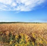 Harvest ripe in a kibbutz in May Royalty Free Stock Image