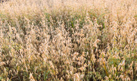 Almost harvest ripe oats Stock Photos