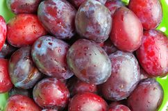 Harvest of ripe plums Stock Photo
