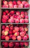 Harvest of ripe red apples stored in the refrigerator Stock Photos