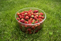 Harvest ripe, delicious strawberries, in a Cup Royalty Free Stock Photos