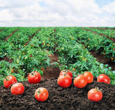 Harvest of ripe red tomato on the ground Stock Image