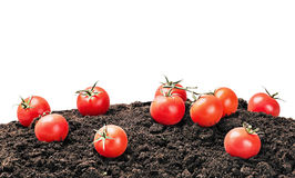 Harvest of ripe red tomato on the ground isolated Royalty Free Stock Images