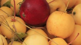 Red apple among yellow. Harvest of ripe small apples stock footage