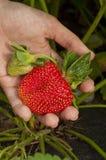 Harvest ripe strawberrie Stock Photos