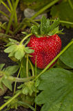 Harvest ripe strawberries Royalty Free Stock Image