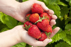 Harvest ripe strawberries Stock Photography