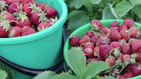 Harvest of ripe strawberries standing among the green bushes in their own garden on a summer farm
