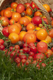 Harvest ripe tomatoes Stock Image