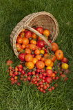 Harvest ripe tomatoes Royalty Free Stock Image