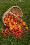 Harvest ripe tomatoes Stock Photography