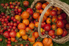 Harvest ripe tomatoes Stock Images