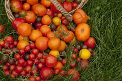 Harvest ripe tomatoes Royalty Free Stock Images