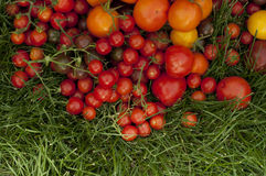 Harvest ripe tomatoes Royalty Free Stock Photos