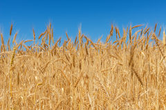 Harvest of ripe wheat Royalty Free Stock Photography