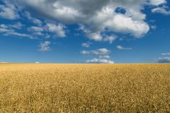 Harvest of ripe wheat ears under a clear blue sky in background stock images