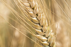 Harvest of ripe wheat, golden spike Stock Image
