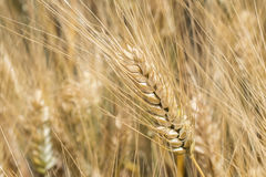 Harvest of ripe wheat, golden spike Royalty Free Stock Images