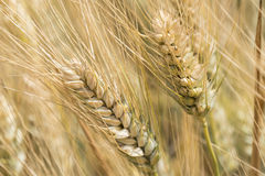 Harvest of ripe wheat, golden spike Stock Photos