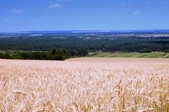 Harvest of ripe wheat Royalty Free Stock Photos