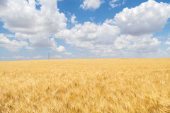 Harvest of ripe wheat Stock Images