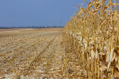 Harvest ripe yellow corn on the background of bright blue sky Stock Photos
