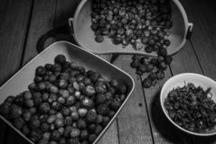 Harvest of the riped strawberry the separation of the leaves. Black and white royalty free stock photography