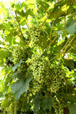 Harvest of ripening white grapes on the vine Royalty Free Stock Images