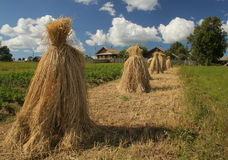 Harvest in Rissia. Harvest landscape in Russia. Summer Stock Photo