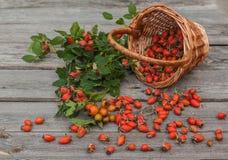 Harvest rose hips Royalty Free Stock Image