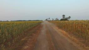 Harvest. Rural road near field of sunflowers. Farm stock video footage