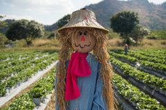 Harvest Scarecrow in strawberry farm. Close up of scare crow decoration in field with mountain background royalty free stock image