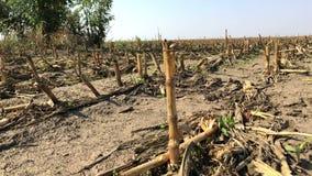 Corn Field After Harvest. After harvest scene, countryside agriculture landscape stock video footage