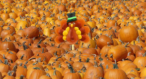 Harvest scene with pumkins Royalty Free Stock Photos