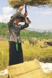 Harvest scene in Thai country stock image