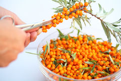 The harvest of seabuckthorn. (Hippophae rhamnoides). This product contain the plenty of vitamin C. The hand with the scissors cuts the buckthorn Stock Photography