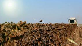 Harvest Season. Combine harvester in the field during harvest sunflower,video clip stock video