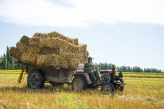 The harvest season. Farmer driving a tractor in the fields harvesting Stock Photo