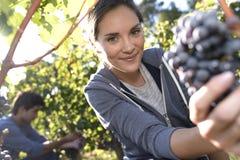 Harvest season of grapes Royalty Free Stock Photo