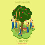 Harvest season: men pluck apples Royalty Free Stock Image
