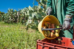 Harvest season. Picker is unloading his pail full of prickly pears into a bigger fruit box during harvest time royalty free stock photo