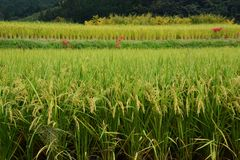 Rice cultivation. The harvest season / Rice cultivation royalty free stock photos