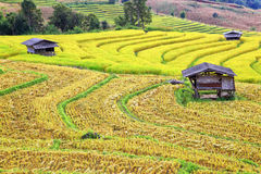 Harvest season rice fields Stock Photography