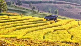 Harvest season rice fields Stock Photo
