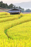 Harvest season rice fields Stock Photo